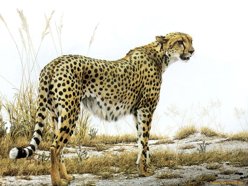 что картинки гепарда как нарисовать вышивка элегантная время